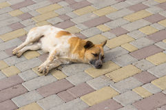 Stray dog peacefully sleep on a street Stock Images
