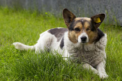 The stray dog. Pooch without one eye is on the green grass Stock Photography
