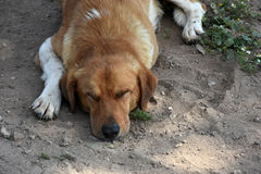 Stray dog. Portrait of a big sad stray dog resting in the dirt Royalty Free Stock Photography