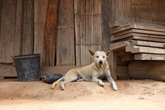 Stray dog portret in front of traditional wooden house Royalty Free Stock Photo
