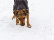 Stray dog is ready to defend its godsend Royalty Free Stock Photography