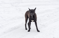 Stray dog is ready to defend territory Royalty Free Stock Photo