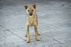 Stray dog recovered from ringworm standing on a pavement Stock Photography