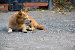 Stray dog resting on the ground Stock Photos