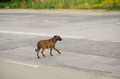 Stray dog Royalty Free Stock Photography