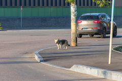 Stray dog on the road among cars. A stray dog on the road among the cars, not observing the rules of the road and putting himself in danger, wanders in an stock images