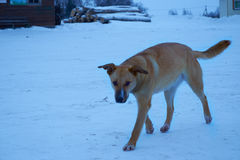 Stray dog is on road in winter. Stray dog is on the road in the winter Royalty Free Stock Image