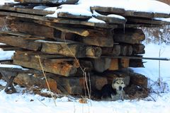Stray dog on the ruins of the house. Stray dog with frostbite ears, lying next to the ruins of a wooden house Royalty Free Stock Image