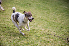 Stray Dog Running. Rescued stray dog running in a backyard Stock Photography