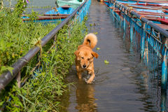 Stray dog running in the water on the flooded sidewalk in Pokhara, Nepal Royalty Free Stock Photos