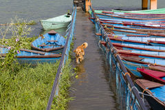 Stray dog running in the water on the flooded sidewalk in Pokhara, Nepal Royalty Free Stock Images