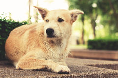 Stray dog with sad eyes looking away and lying in park. Vintage. Effect tone Royalty Free Stock Images