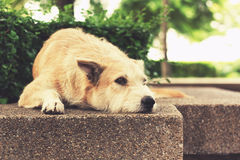 Stray dog with sad eyes looking away and lying in park. Vintage Royalty Free Stock Images