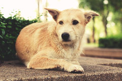 Stray dog with sad eyes looking away and lying in park. Vintage Stock Images