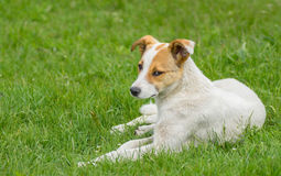 Stray dog with sad eyes resting in spring grass. Adorable stray dog with sad eyes resting in spring grass stock image