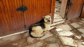 A stray dog in San Pedro de Atacama, Chile. A stray dog in the village of San Pedro de Atacama, Chile royalty free stock photos