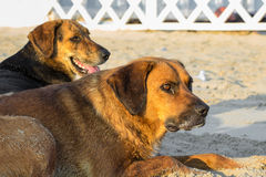 Stray dog on the sand. Two stray dogs enjoying the warm summer sun on the beach Royalty Free Stock Photos