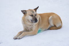 Stray dog with scars on the snout lying on a snow Stock Photography
