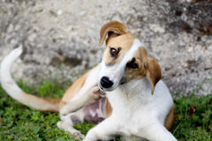 Stray dog scratching for with fleas. Oicture of a stray dog scratching for with fleas Royalty Free Stock Photos
