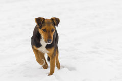 Stray dog searching for some food. At winter season Royalty Free Stock Images