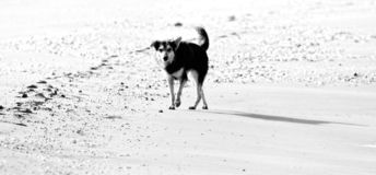 Stray dog on the seashore. Stray dogs on the beaches in Goa and Kerala. Shaggy motley animal. The dog faithfully looks at potential breadwinner and owner royalty free stock image