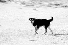 Stray dog on the seashore. Stray dogs on the beaches in Goa and Kerala. Shaggy motley animal. The dog faithfully looks at potential breadwinner and owner royalty free stock photo
