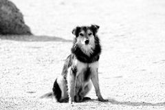 Stray dog on the seashore. Stray dogs on the beaches in Goa and Kerala. Shaggy motley animal. The dog faithfully looks at potential breadwinner and owner royalty free stock photography