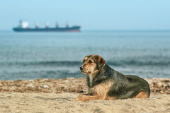 Stray Dog on the Shore Royalty Free Stock Image