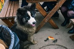 A stray dog sits near the table and asks for food. Hungry dog. Lonely abandoned animal stock photography