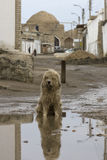 A stray dog sitting in a muddy puddle.  Royalty Free Stock Photography