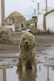 A stray dog sitting in a muddy puddle.  Royalty Free Stock Image