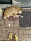 Stray dog. Sleep in front of the store Royalty Free Stock Photography
