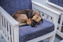 Stray dog sleeping on a chair in a coffee shop Royalty Free Stock Photography