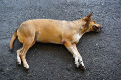 Stray dog sleeping Royalty Free Stock Photo