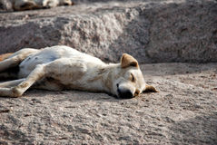 Stray dog Stock Photography