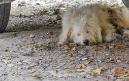 Stray dog sleeping under a parked car.  Royalty Free Stock Image