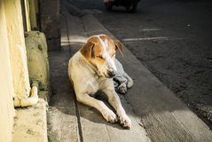 Stray dog sleeping under sunlight in afternoon Royalty Free Stock Images
