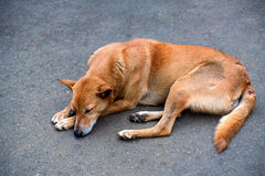 Stray dog sleeps. Sad lonesome stray dog sleeps on ground Royalty Free Stock Photo