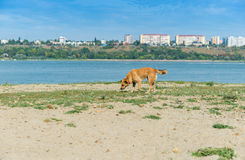 Stray dog sniffing for food on a shore of a big river Royalty Free Stock Photos