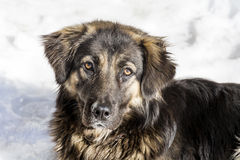 Stray dog on a snow background Stock Photos