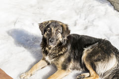 Stray dog on a snow background Royalty Free Stock Photography