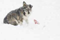 Stray dog in the snow Royalty Free Stock Photography