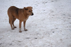 Stray dog in the snow Royalty Free Stock Photos