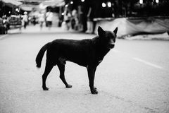 Stray dog standing alone on a street,selective focus,black and white color picture style Royalty Free Stock Photo