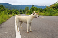 A stray dog standing in the middle of a highway Royalty Free Stock Photography