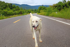 A stray dog standing in the middle of a highway Royalty Free Stock Image