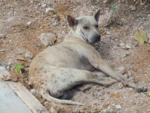 The stray dog. The stray dog is stay beside the street Stock Image