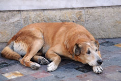 Stray Dog in the Street royalty free stock images