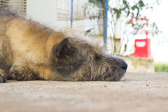 Stray dog on the street Stock Photography