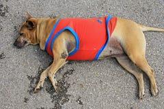 Stray dog. Street dog sleeping in orange shirt during winter season. Poor dog royalty free stock photo